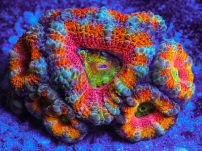 Acan LPS Coral