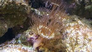 Aiptasia Aquarium Pest Coral