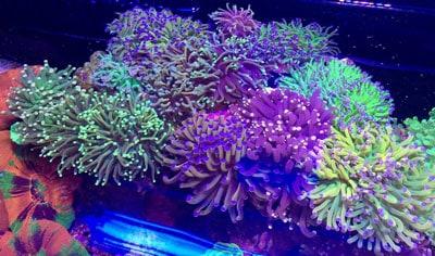 Torch Coral Garden