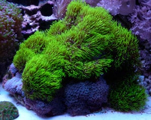 Green Star Polyps Coral